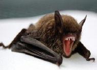 天井裏で繁殖中…コウモリ