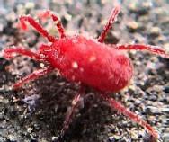 庭でうごめく赤い虫…タカラダニ