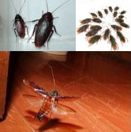 1匹いたら100匹も…ゴキブリ