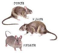 現在大量発生中…ネズミ