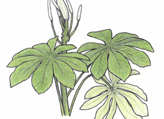 herbier : Catalpa langata