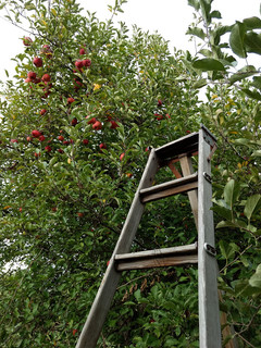 apple_ladder.jpg