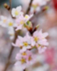 closeup-photography-of-pink-cherry-bloss