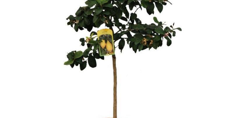 Limone alberello vaso Ø 20 cm