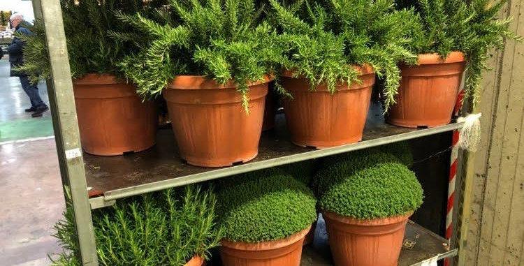 pianta media di rosmarino