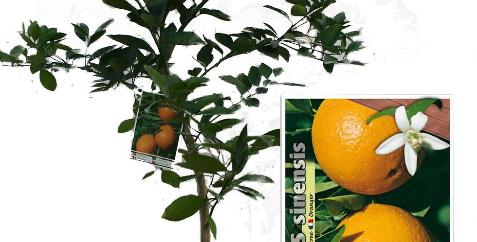Arancio alberello vaso Ø 20 cm