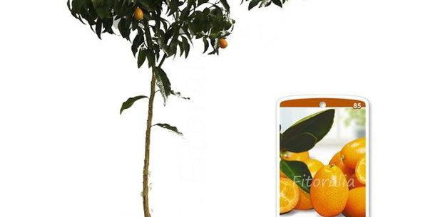 kumquat - mandarino cinese alberello vaso Ø 20 cm