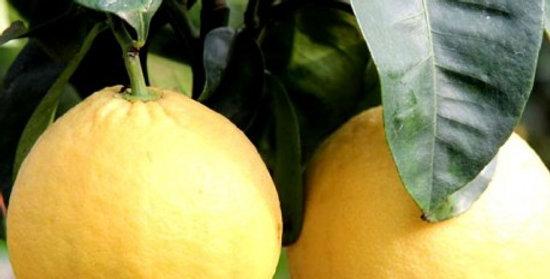 pompelmo giallo alberello vaso Ø 20 cm
