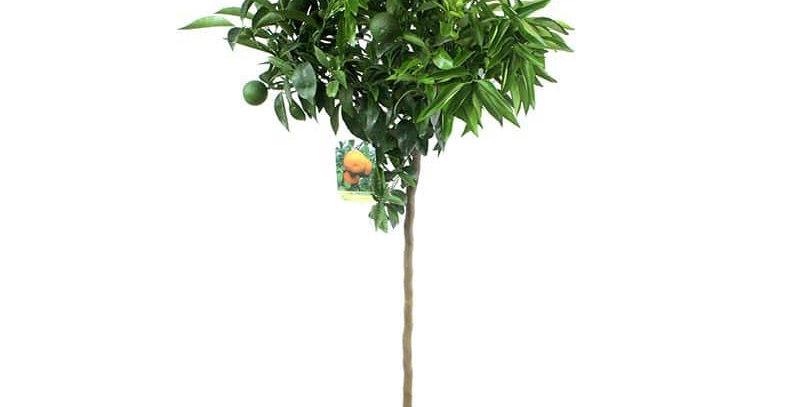 clementino alberello vaso Ø 20 cm