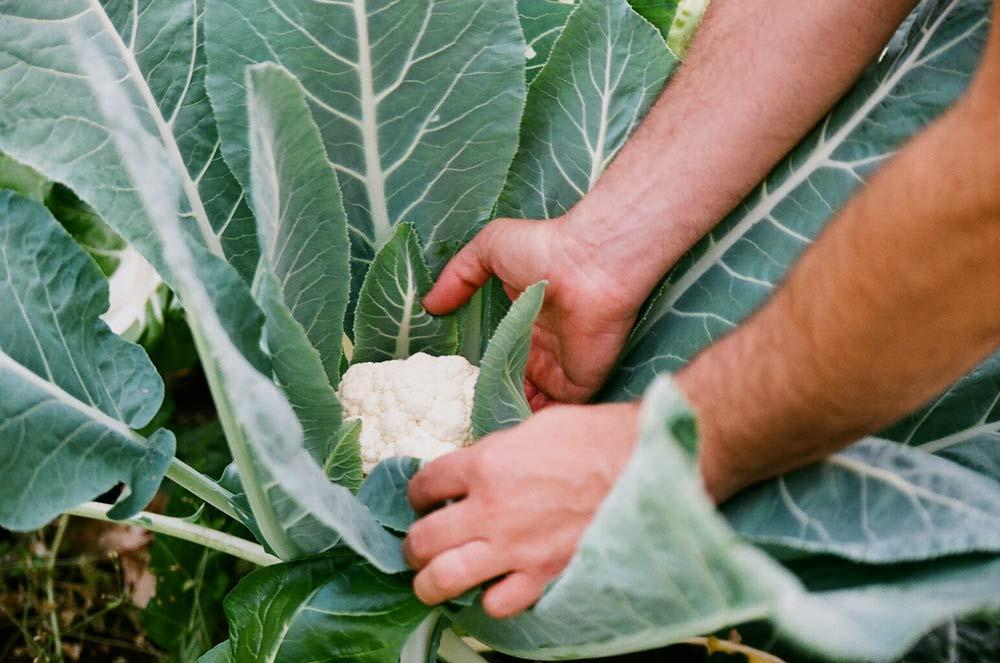 Picking Cauliflower