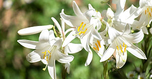 Lily-Varieties-and-Types-FB.jpg