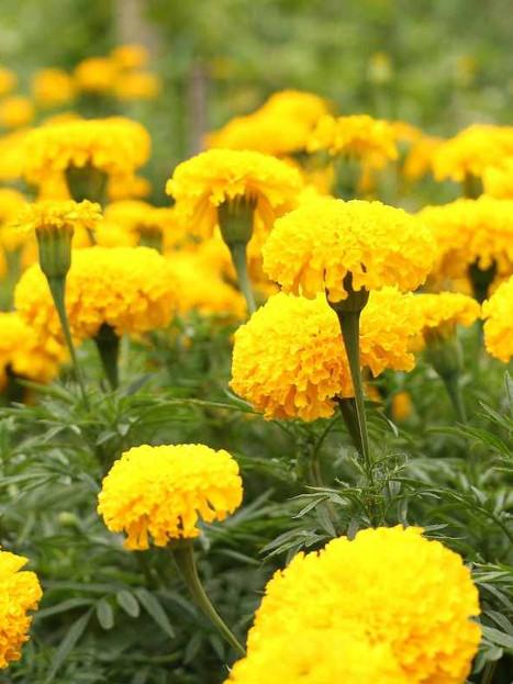 Marigold Plant Care