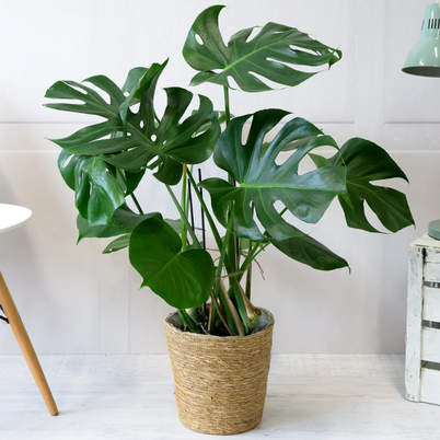 How to Take Care of Swiss Cheese Plant