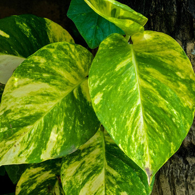 Secrets to Grow Money Plants Faster and Bigger