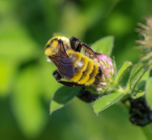 Golden Northern Bumble Bee Makes Hope Meadow Home