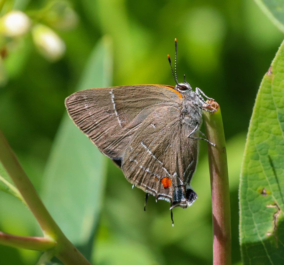 White M Hairstreak found in Hope Meadow
