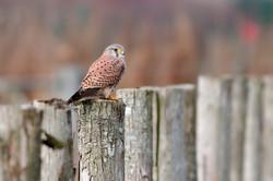 faucon crecerelle-0019