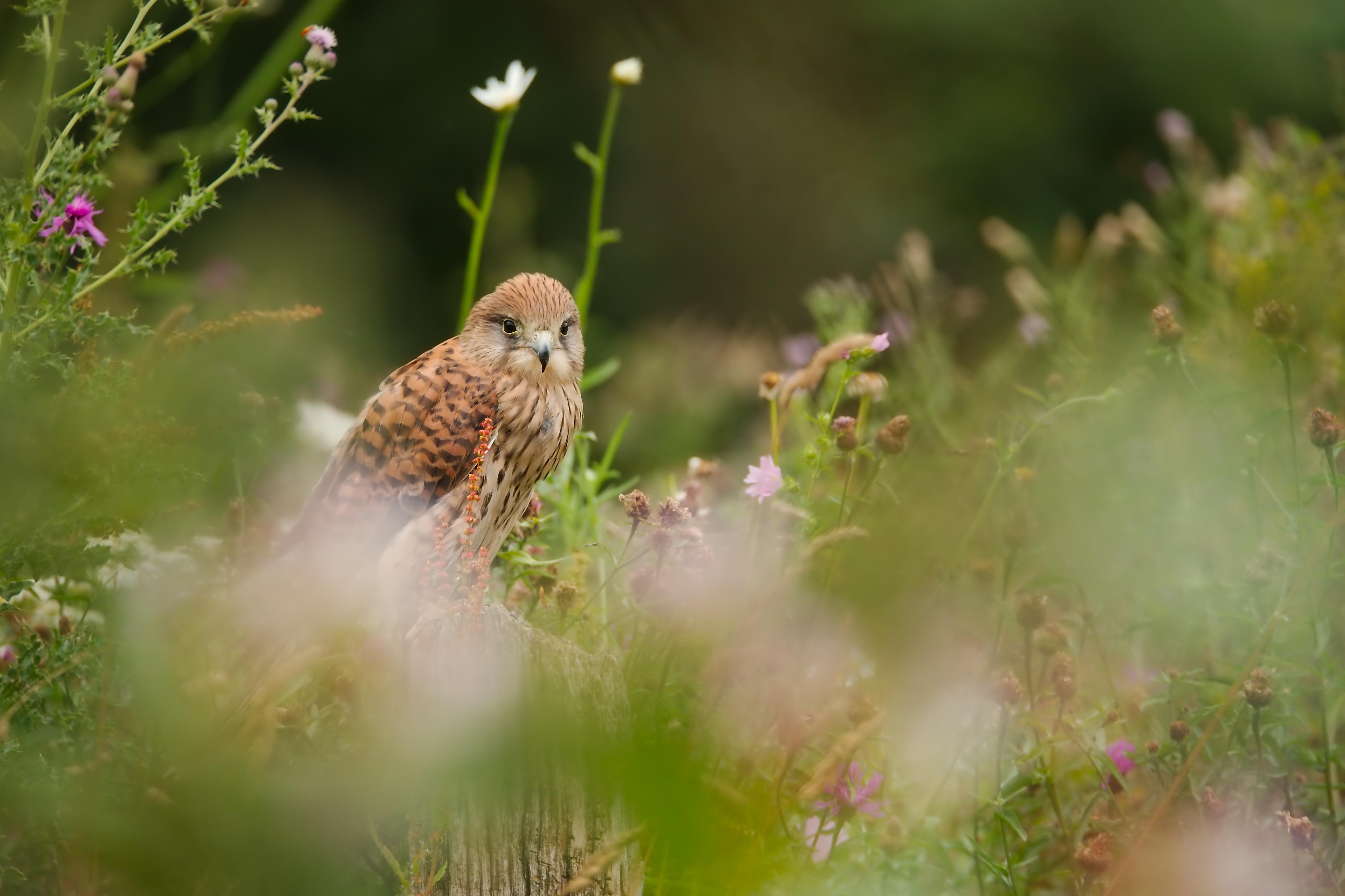 faucon crecerelle-0041