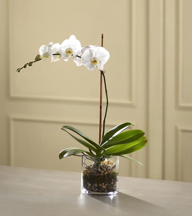 Imperial Orchid
