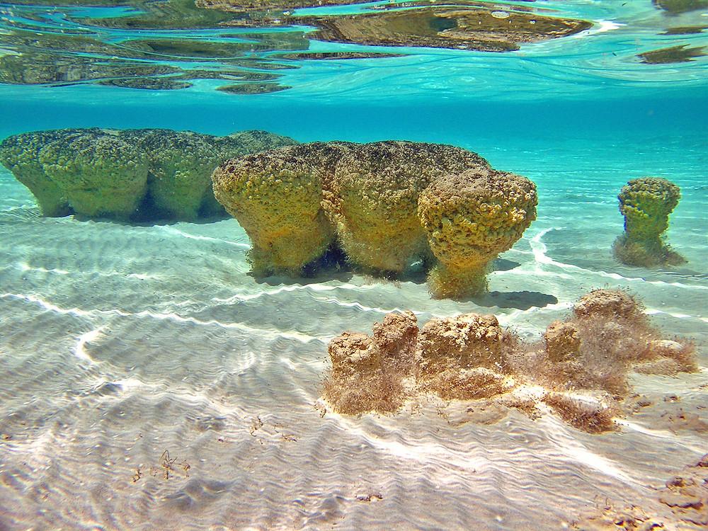 Estromatolitos en la bahía de Shark, Australia (bacterias fósiles)