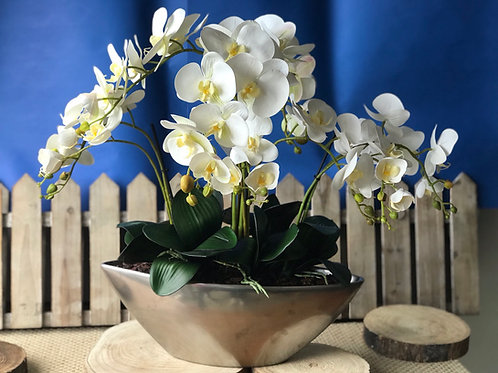 Phalaenopsis Orchid - Large