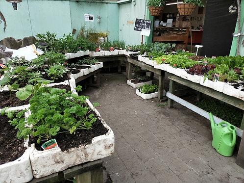 Vegetable and Herb Seedlings
