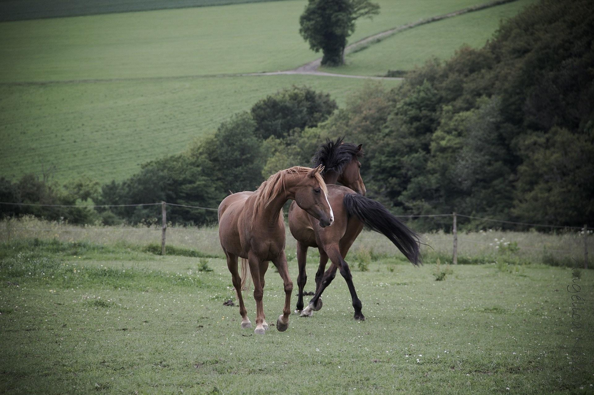 Professional horse massager