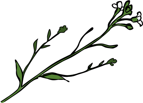 Arabidopsis.png