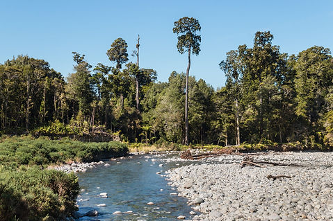 Aorere River with rimu trees in Kahurang