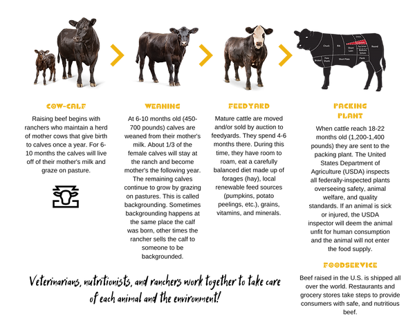 Beef lifecyle graphic.png