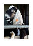 goats pix.jpg