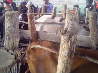 Bull Breeder Update & Export news