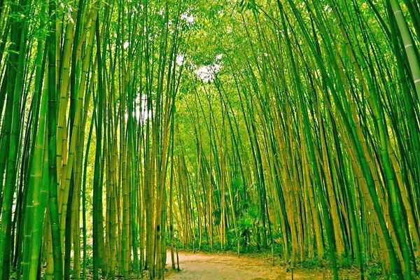 fototapet-bamboo-forest-(046)-046.jpg