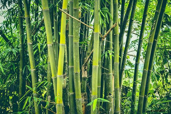 fresh-bamboo-tree-jungle-bamboo-1183893.jpg