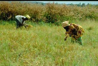 Une Décortiqueuse de riz étuvé pour les rizicultrices de Niéna