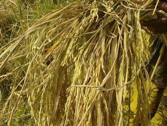 Belle récolte de riz cette année