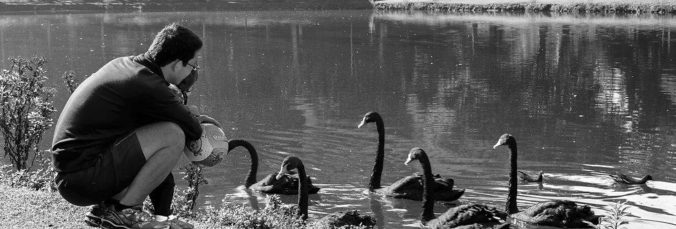 Quadro Alimentando Cisnes - Picture Feeding Swans by Kcris Ramos