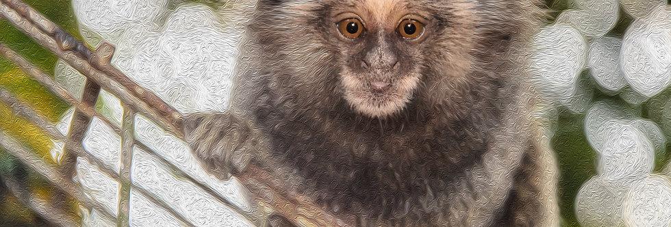 Quadro Mico Leão - Lion mico picture by Kcris Ramos
