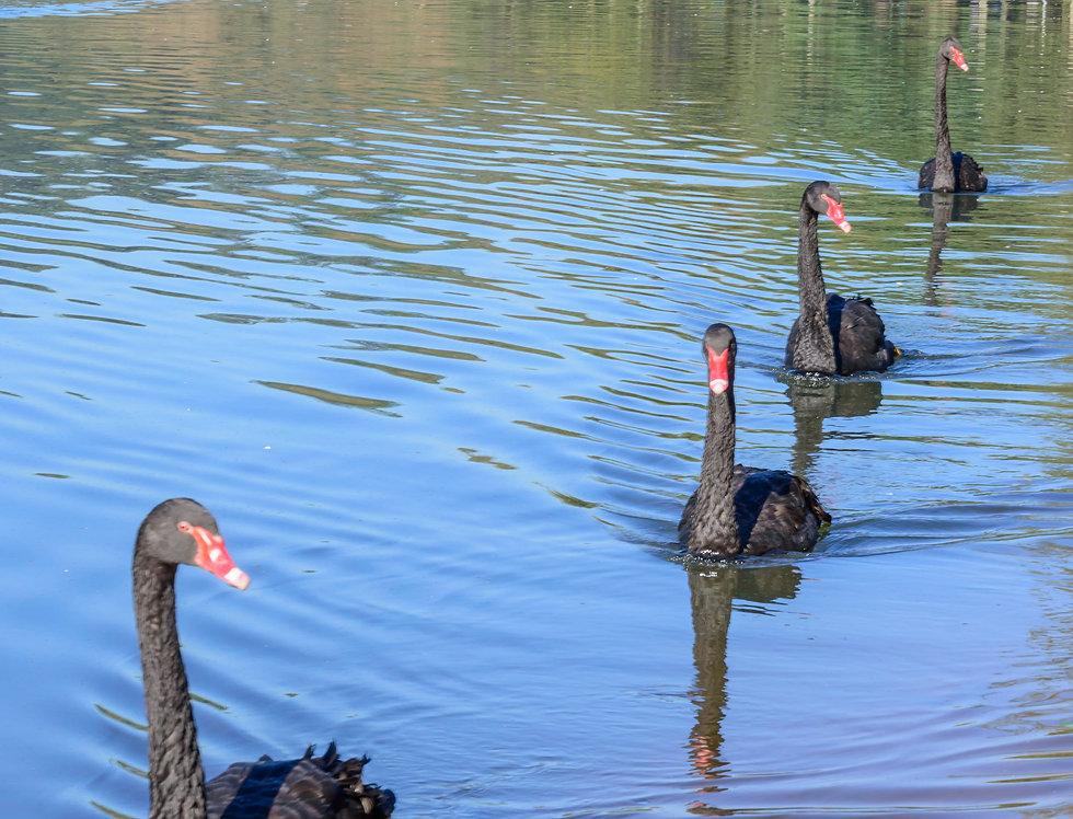 Quadro quatro patos - Frame four ducks by Kcris Ramos
