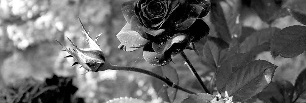 Quadro Rosa Negra da Toscana - Picture Black Rose of Tuscany by Kcris Ramos