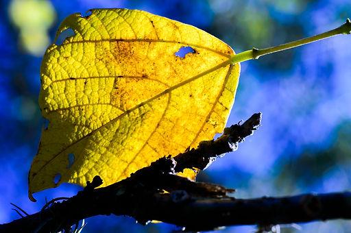 Fotografia fine art de grande folha amarela em fundo azul. Fine art photograph of large yellow leaf on blue background.