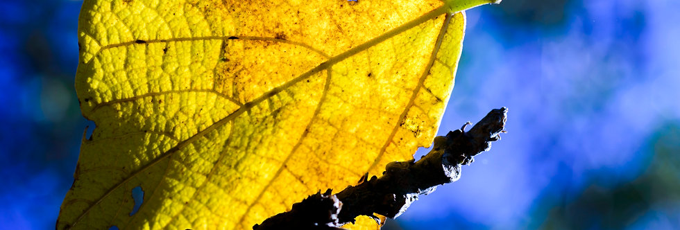 A Ultima Folha - Frame The Last Leaf by Kcris Ramos