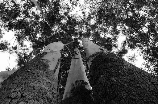 Árvores do Vento fotografia fine art de 3 imensas árvores