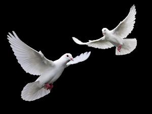 Animals_Birds_White_doves_012881_.jpg co