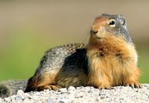 Canadian gopher