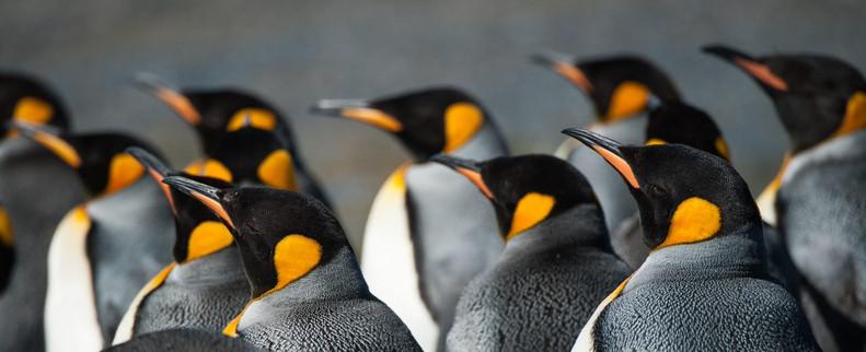 Pinguine - indialogia