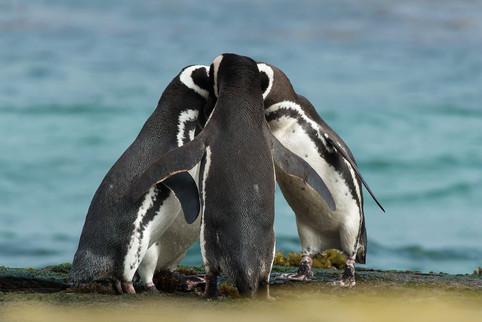 Pinguine - Beratung