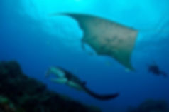 Manta rays julian rocks