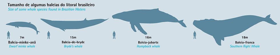 tamanho de baleias do litoral brasileiro