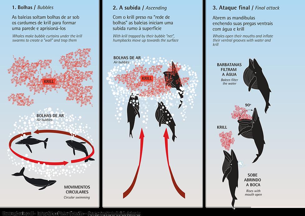 Alimentação baleia-jubarte